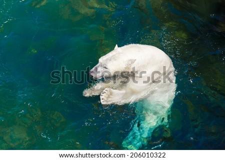 Polar bear eating fish in original habitat - stock photo