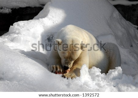 Polar Bear enjoys a meaty bone - stock photo