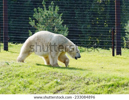 Polar bear in captivity walking on grass - stock photo
