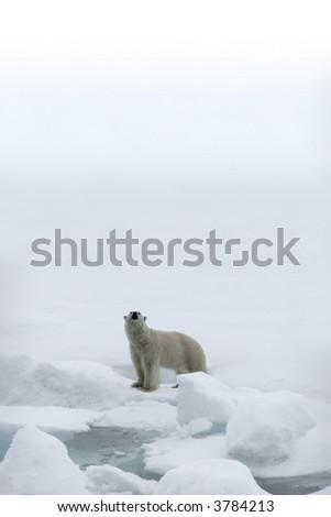 Polar bear in the Arctic - stock photo