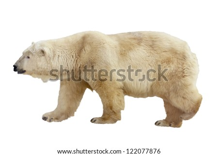 polar bear. Isolated over white background - stock photo