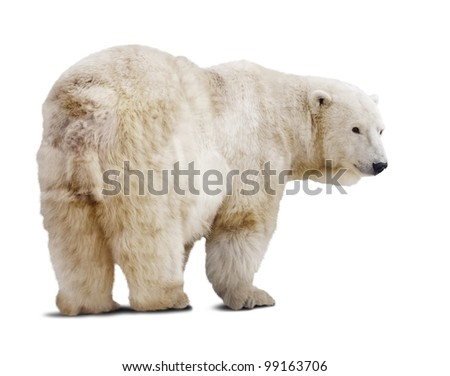 polar bear. Isolated over white background with shade - stock photo