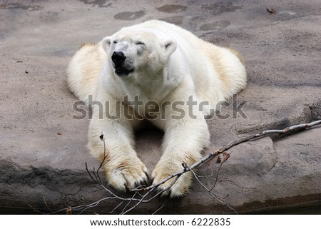 polar bear laying down