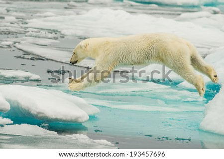 polar bear leaps across ice floes in the arctic sea above svalbard norway - stock photo