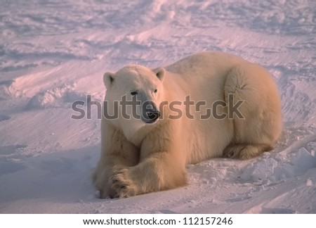 Polar bear lying on snow in Canadian Arctic - stock photo