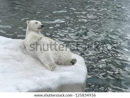 Polar bear lying on the beach (focus on face) - stock photo