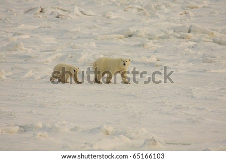 Polar bear mother and cub walking in the arctic in search of food near Hudson Bay - stock photo