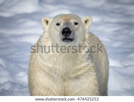 Polar Bear of Norway looking straight at camera