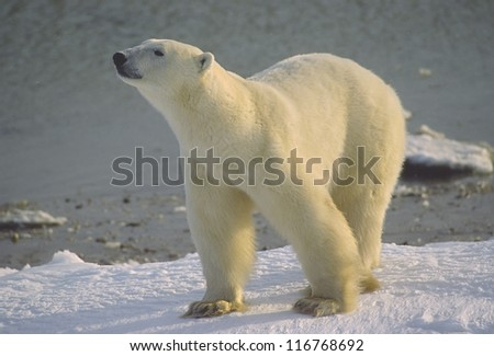 Polar bear on Hudson's Bay shore, Canadian Arctic - stock photo