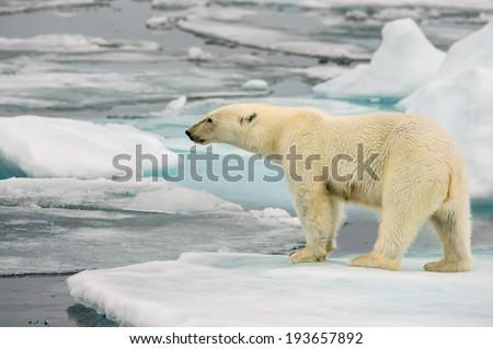 polar bear on ice floe in arctic sea - stock photo