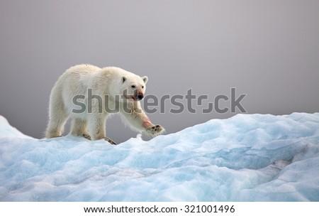 Polar bear on iceberg - stock photo