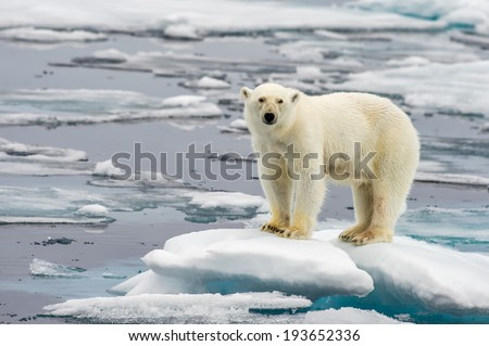 polar bear on melting ice floe in arctic sea - stock photo