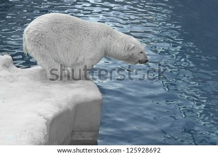 Polar bear on the shore