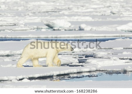 Polar bear photographed in the Svalbard