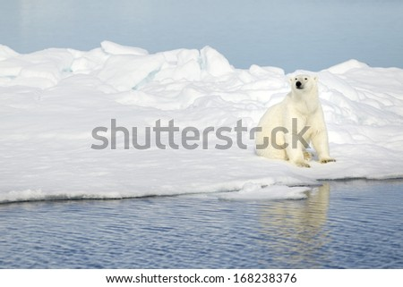 Polar bear photographed in the Svalbard - stock photo
