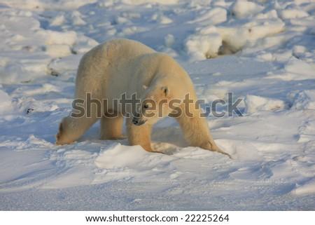 Polar bear reacts to a sound behind him - stock photo