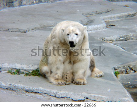 Polar bear resting at the San Francisco zoo. - stock photo
