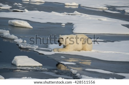 Polar bear resting on the edge of an ice floe in the late afternoon sunlight, north of Svalbard. - stock photo