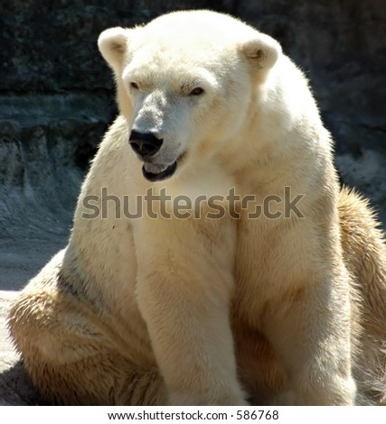 Polar bear sitting,Buffalo Zoo,Buffalo New York - stock photo