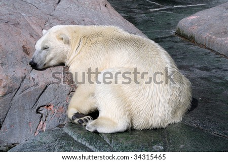 polar bear sleeping in the sun - stock photo