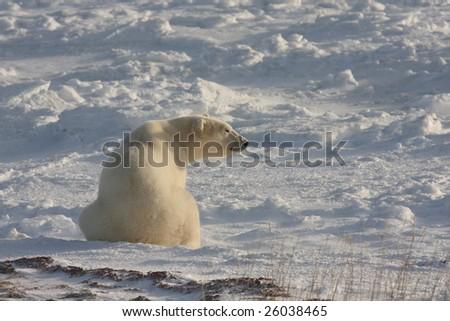 Polar bear smelling the air in the arctic near Churchill - stock photo