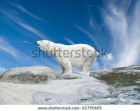 Polar bear stand on the rocks near the pond - stock photo