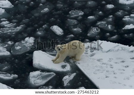 Polar bear standing between two ice floes. Close view. Spitsbergen. - stock photo