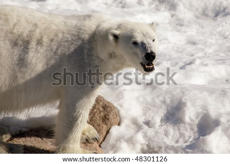 Polar bear standing on a rock - stock photo