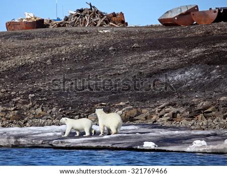 Polar bear survival in Arctic - pollution problems - stock photo