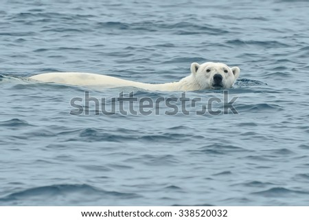 polar bear swimming in arctic sea and looking toward camera - stock photo