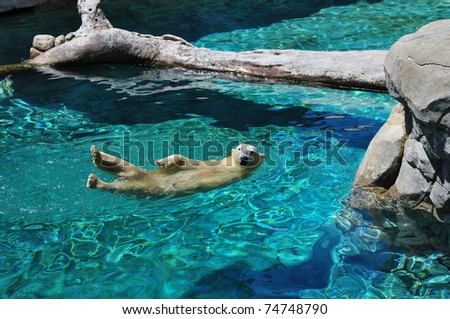 Polar bear swimming in blue water (Ursus maritimus) - stock photo