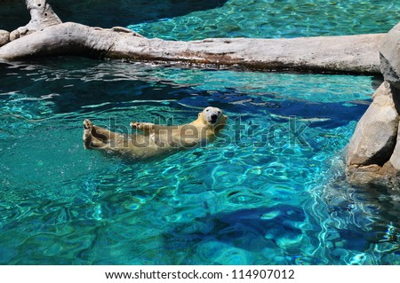 Polar bear swimming in blue water (Ursus maritimus). Polar bear looking at the camera - stock photo