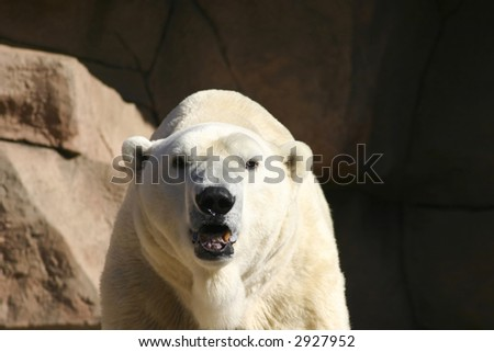 Polar Bear Up Close - stock photo