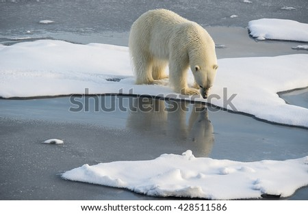 Polar bear, ursus maritimus, looking at it's own reflection as it patrols the ice floes north of Svalbard. - stock photo