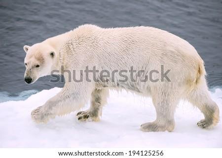 polar bear walking along ice floe in arctic sea - stock photo