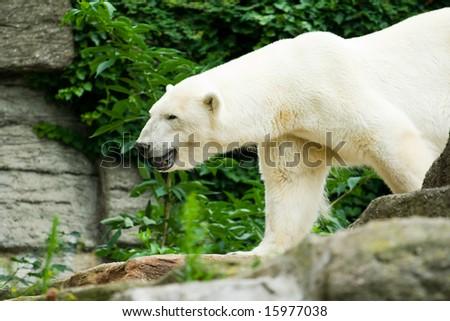 Polar bear walking between rocks - stock photo