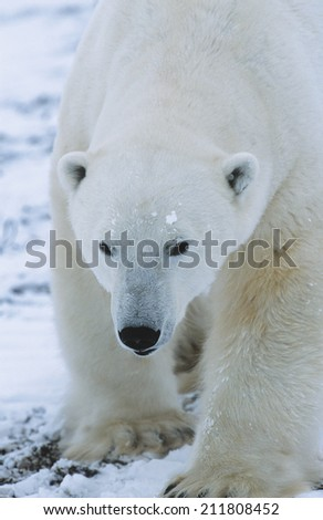 Polar Bear walking in snow Yukon - stock photo