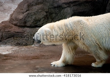 Polar bear walking on a stony surface