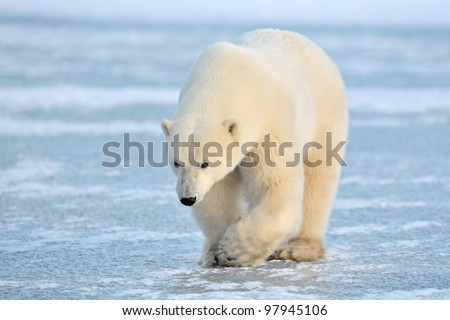 Polar Bear walking on blue Ice - stock photo
