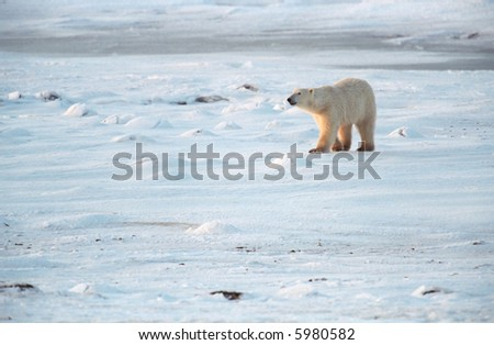 polar bear walking on snow covered tundra near churchill canada - stock photo