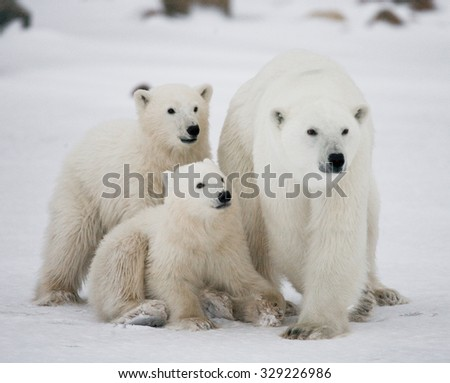 Polar bear with a cubs in the tundra. Canada. An excellent illustration.