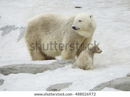 Polar bear with bear cub The polar bear is a typical inhabitant of the Arctic. The polar bear is the largest member of the squad predator.