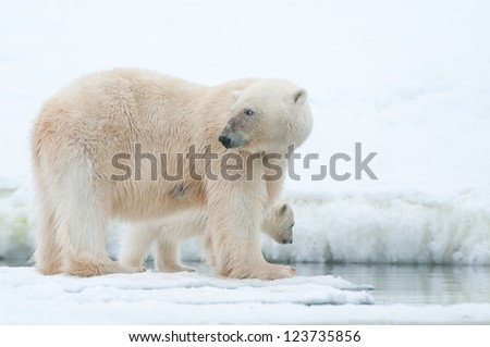 polar bear with cub on ice in Svalbard - stock photo