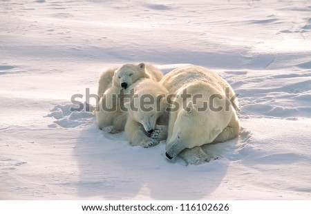 Polar bear with cubs sleeping on Arctic tundra - stock photo