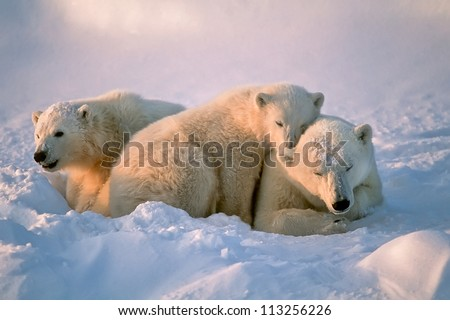 Polar bear with her cubs - stock photo