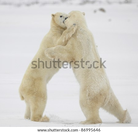 Polar bears fighting on snow have got up on hinder legs. - stock photo