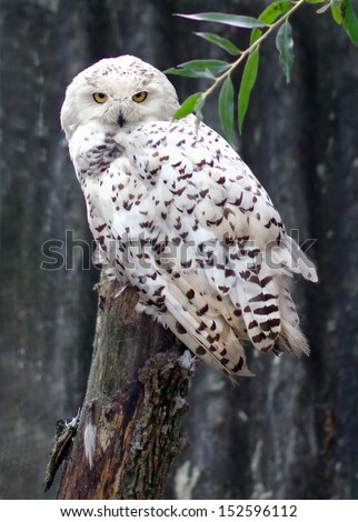 Polar owl - stock photo