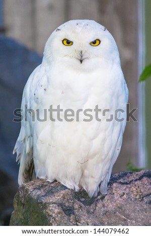 Polar owl male closeup - stock photo