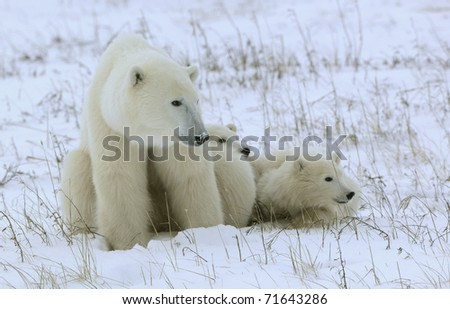 Polar she-bear with cubs. - stock photo