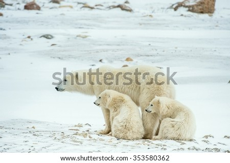 Polar she-bear with cubs. A Polar she-bear with two small bear cubs on the snow. The polar bear ( Ursus maritimus)   - stock photo